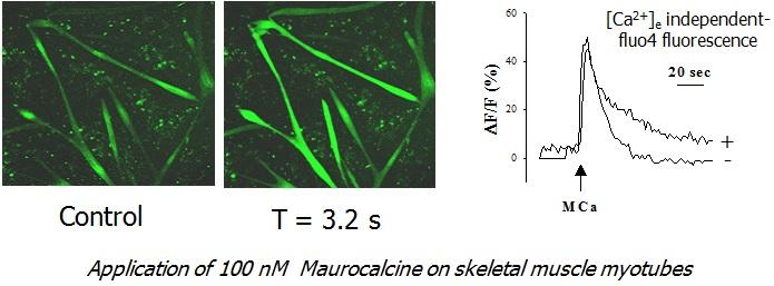 Maurocalcine ryanodine receptor activator of skeletal muscle myotubes