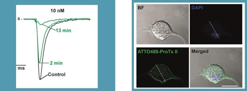 Nav1.7 protx-II fluorescent